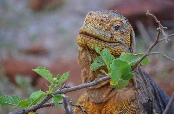 Visiter l'Equateur et s'émerveiller de sa faune devant un iguane
