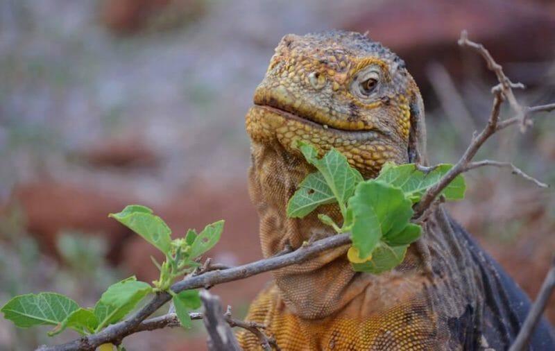 Admirer les iguanes aux Galapagos