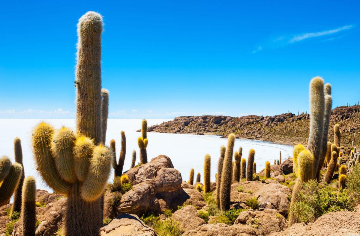 Gros cactus sur l'île d'Incahuasi, sel plat Salar de Uyuni, Altiplano, Bolivie