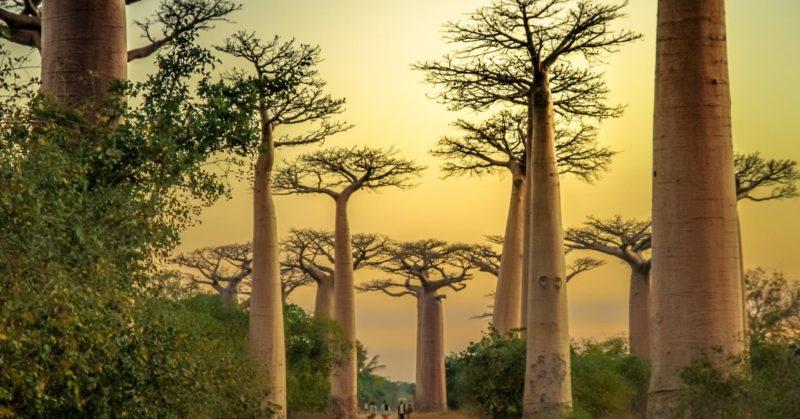 Voir des baobabs en circuit organisé à Madagascar