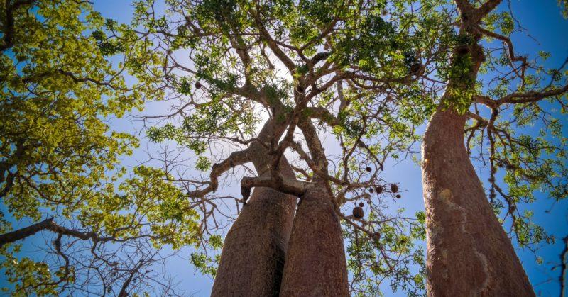 Voyage en groupe à Madagascar à Reniala voir des baobabs