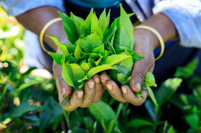 Découverte de la culture du thé au Sri Lanka