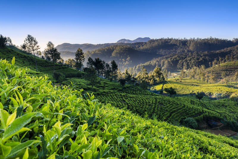 Voyage en groupe Sri Lanka pays du thé