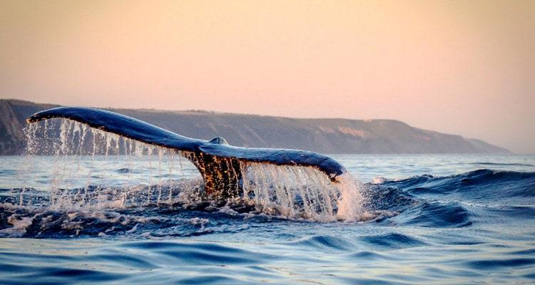 Observer les baleines à Hermanus en Afrique du Sud