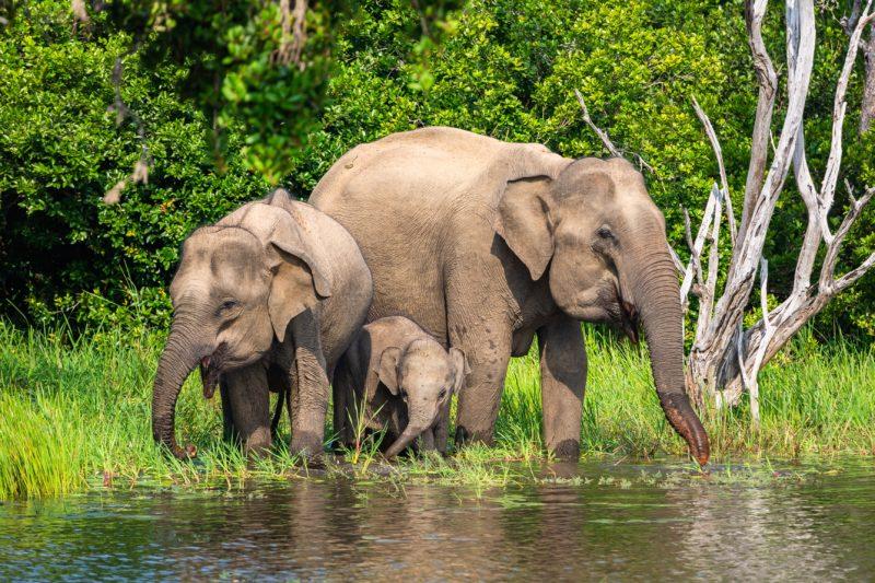 Eléphants du Parc national de yala au Sri Lanka