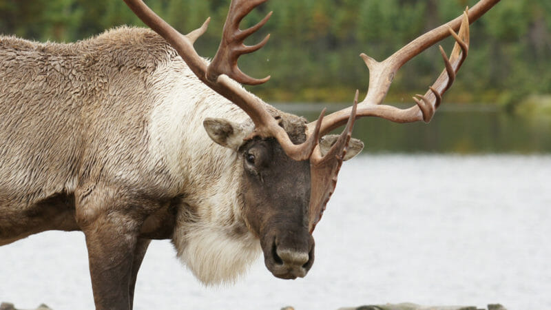 Caribou en voyage organisé au Québec en automne