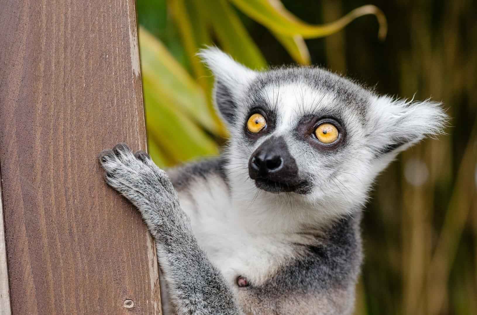 Voir des lémuriens à Madagascar après le Covid-19