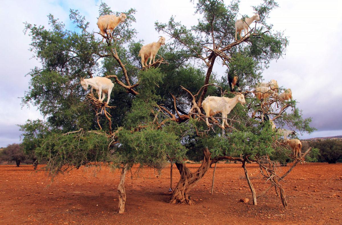 Chèvres sur arbres argileux entre Marrakech et Essaouira Maroc