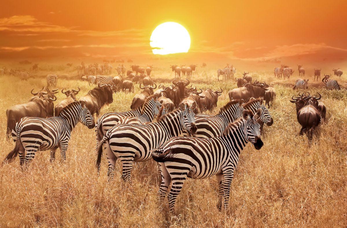 Visiter le parc de Serengeti au coucher du soleil en Tanzanie