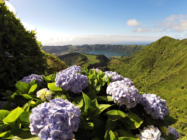 Voir les hortensias dans le paysage des Açores