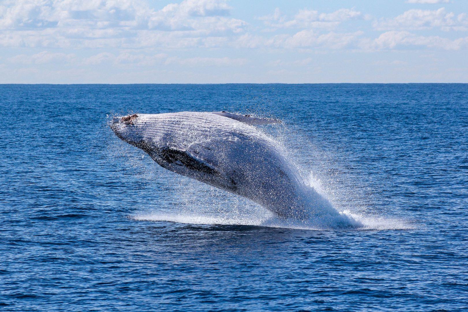 Observer des baleines lors d'un voyage aux Açores