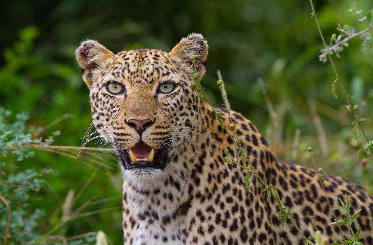 Parc national Kruger, guépard