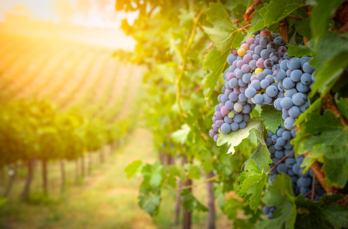 Vignes de raisins région Bourgogne et Champagne, France
