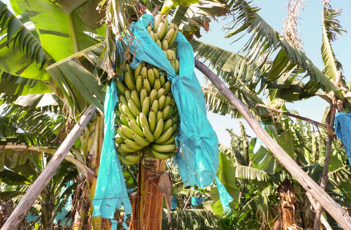 Plantation bananes Afrique du Sud