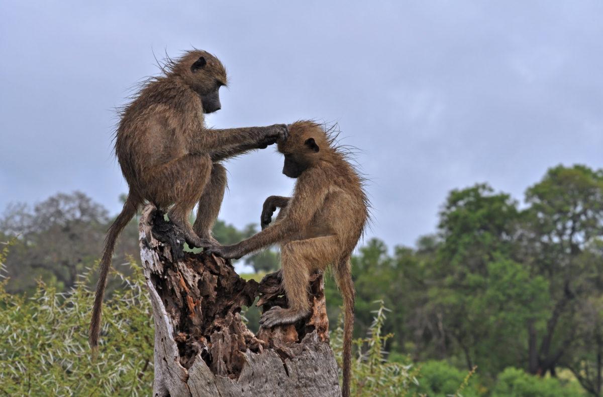 Parc national Kruger, babouins